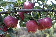 陕西:多措施推进苹果产业化