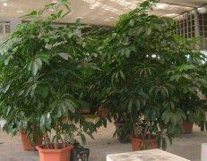 详细解读发财树的养殖方