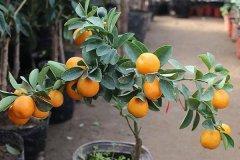 橘子的种植方法
