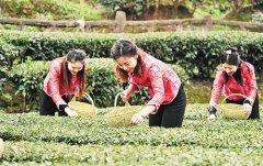 湖北宜昌早茶基地