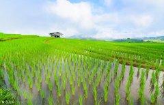 种植中国杂交水稻改变布隆迪农民生活