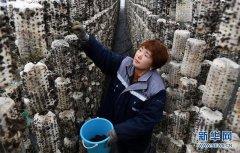 陕西西乡:食用菌