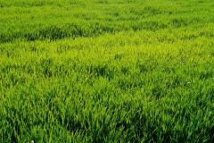 怎样减少冬春小麦死苗呢?