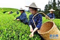 武夷山:生态茶园 祭茶喊