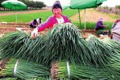 高陵区:村民种植香葱每亩净