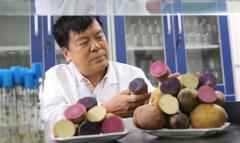 西农大3个彩色马铃薯新品种首获国家认证