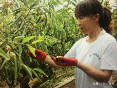 大荔42万亩冬枣已成群众增