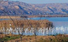 数万只侯鸟栖息黄河洽川湿