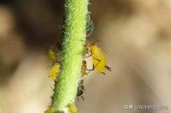 蚜虫打药不管用
