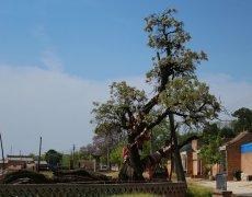 合阳:千年木瓜树 今