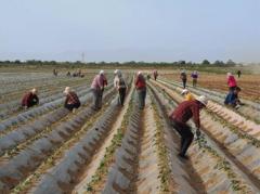 合阳: 红薯产业园助
