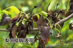 临渭区梨火疫病防