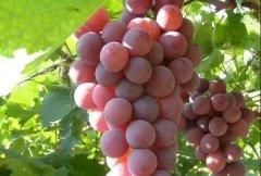 葡萄生长影响因素